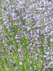 lavender-167750_1280