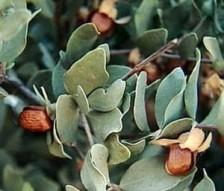 geacosmetics-aceite-jojoba-natural